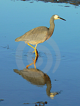 Heron Searching For Food In The Sea Royalty Free Stock Photo - Image: 15036435
