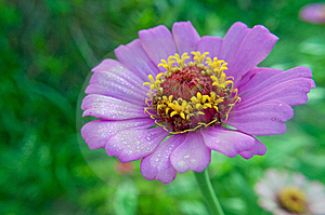 Purple Daisy With Morning Dewdrops Royalty Free Stock Image - Image: 15040576