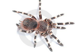 Tarantula Isolated On White BG. Royalty Free Stock Images - Image: 15044829