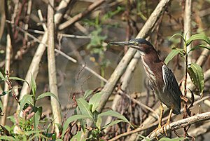 Adult Green Heron Royalty Free Stock Photos - Image: 15046788