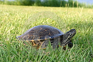 Turtle Going To Lay Eggs Stock Image - Image: 15047471