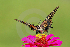 Butterfly Royalty Free Stock Photography - Image: 15047497