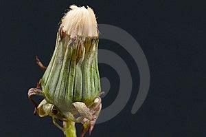 Dandelion Royalty Free Stock Image - Image: 15052556