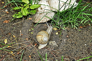 Curious Snail Royalty Free Stock Photography - Image: 15053567