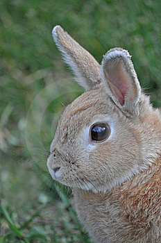 Staring Bunny Royalty Free Stock Image - Image: 15054026