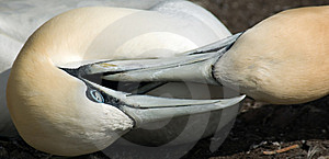 Gannets Fighting For Territory Royalty Free Stock Photos - Image: 15059608