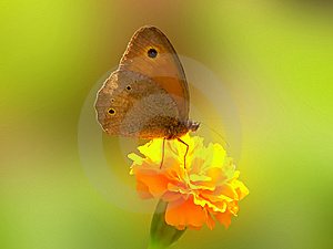 Butterfly Meadow Brown Maniola Telmessia Stock Photography - Image: 15061802
