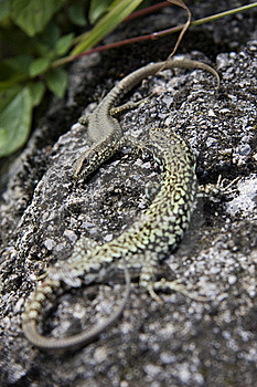 Lizards Royalty Free Stock Image - Image: 15062126