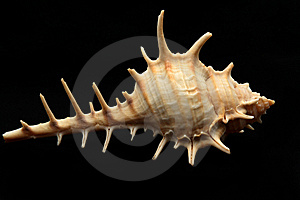 Sharp Shell Royalty Free Stock Images - Image: 15062499