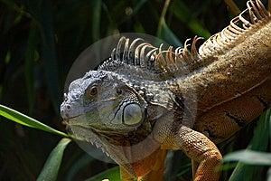 Iguana Royalty Free Stock Photography - Image: 15062597