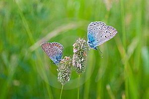 Butterflies On Herb Stock Photos - Image: 15065033