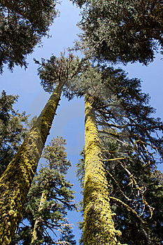 Tall Trees Stock Images - Image: 15065594