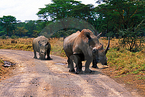 Rhinos In The Savannah Stock Images - Image: 15069134