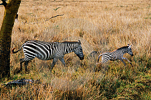 Zebra Mother With Cub Stock Images - Image: 15069154