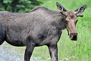Wild Bull Moose Royalty Free Stock Photos - Image: 15069608