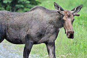 Wild Bull Moose Royalty Free Stock Photos - Image: 15069608