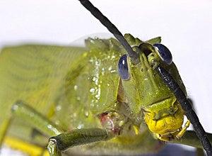 Locust Preening Royalty Free Stock Photos - Image: 15070378