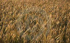 Rye Field Stock Photography - Image: 15078132