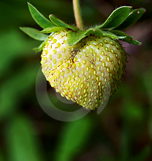 Green Strawberry Stock Photography - Image: 15080502