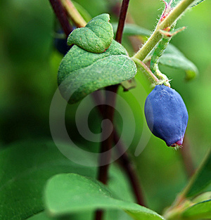 Blue Berry Royalty Free Stock Image - Image: 15080506