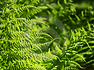 Wild Fern Royalty Free Stock Images - Image: 15080509