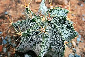 Cactus Royalty Free Stock Photos - Image: 15082128