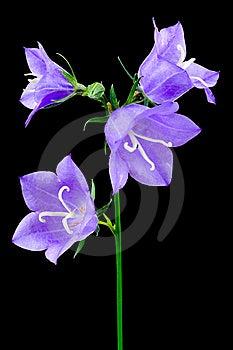 Blue Campanulas Stock Image - Image: 15082151
