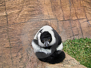 Lemur King Stock Photo - Image: 15083000