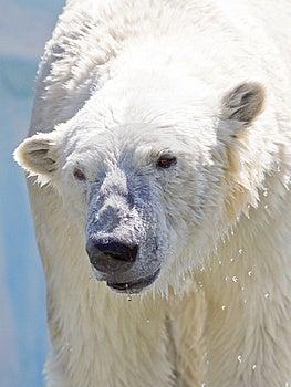 Polar Bear. Stock Photos - Image: 15086573