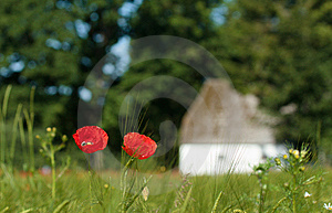 Poppys In The Field Stock Photo - Image: 15086620