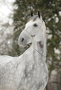 Grey Horse Royalty Free Stock Image - Image: 15089406
