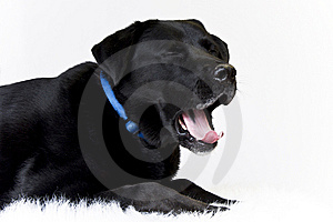 Dog Yawning Royalty Free Stock Photo - Image: 15089715