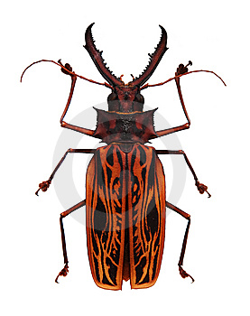 Big Orange And Black Horned Beetle Stock Photography - Image: 15091762