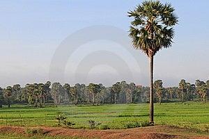 Cambodian Palm Tree Stock Image - Image: 15092081