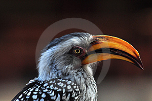 Southern Yellowbilled Hornbill Royalty Free Stock Image - Image: 15092616