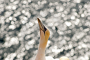 Sunny Gannet Royalty Free Stock Photo - Image: 15094695
