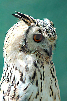 Eurasian Eagle-owl Stock Photos - Image: 15097783