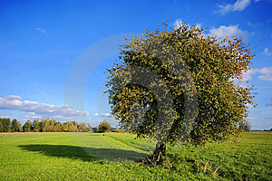Pear Tree On Field Royalty Free Stock Images - Image: 15098099