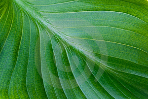 Green Leaf Background Royalty Free Stock Photo - Image: 15101765