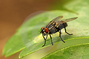 Housefly Stock Images - Image: 15104354