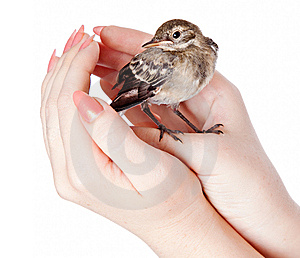 Nestling Of Bird (wagtail) On Hand Royalty Free Stock Photos - Image: 15106408
