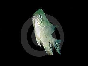 Pale Damselfish Stock Photos - Image: 15109033