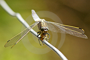 Broad Bodied Chaser Dragonfly Royalty Free Stock Images - Image: 15110519