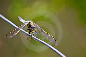 Broad Bodied Chaser Dragonfly Stock Photography - Image: 15110522