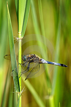 Broad Bodied Chaser Dragonfly Stock Photo - Image: 15110530