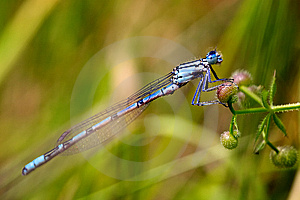 Azure Damselfly Stock Images - Image: 15110534
