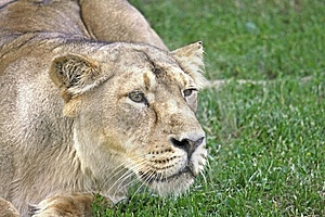 Lioness Stock Photography - Image: 15110612