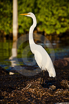 Egret Wielki Zdjęcia Stock - Obraz: 15110813
