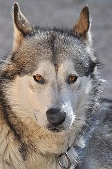 Alaskan Malamute Portrait Stock Image - Image: 15120341