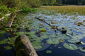 Lily Pads Royalty Free Stock Photography - Image: 15122117